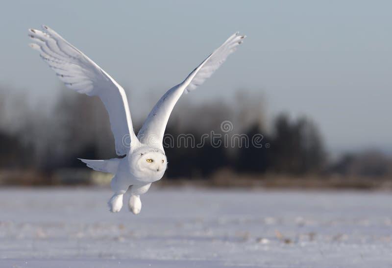 Um scandiacus nevado masculino do bubão da coruja voa a baixa caça sobre um campo de milho nevado ensolarado aberto em Ottawa, Ca imagem de stock