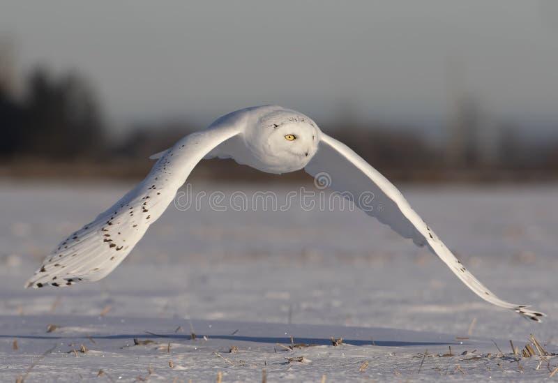 Um scandiacus nevado masculino do bubão da coruja voa a baixa caça sobre um campo de milho nevado ensolarado aberto em Ottawa, Ca fotografia de stock