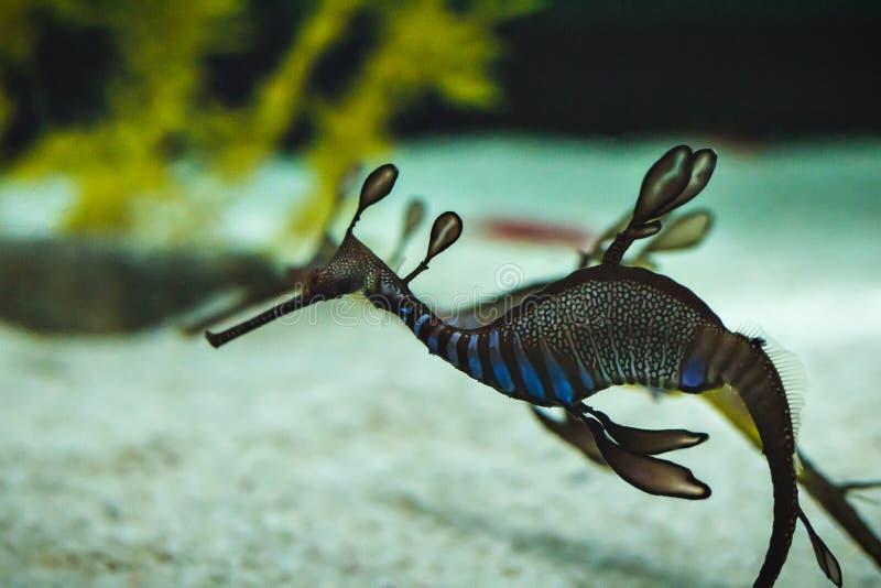 Um seadragon bonito imagem de stock royalty free