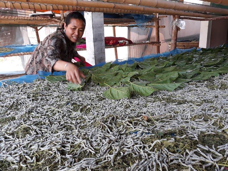 Um sem-fim de seda de alimentação do aldeão com amoreira sae imagem de stock