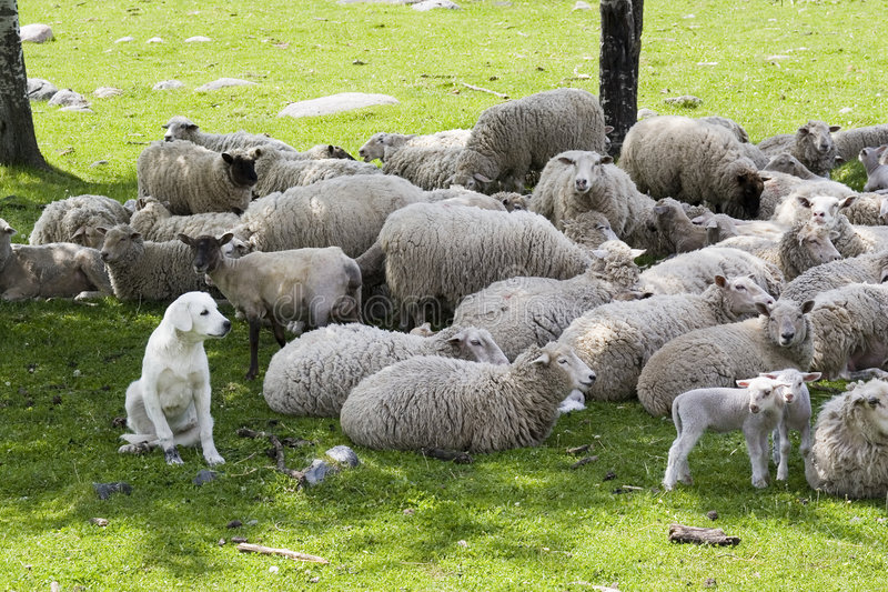 Um sheepdog do akbash que guarda o rebanho fotografia de stock