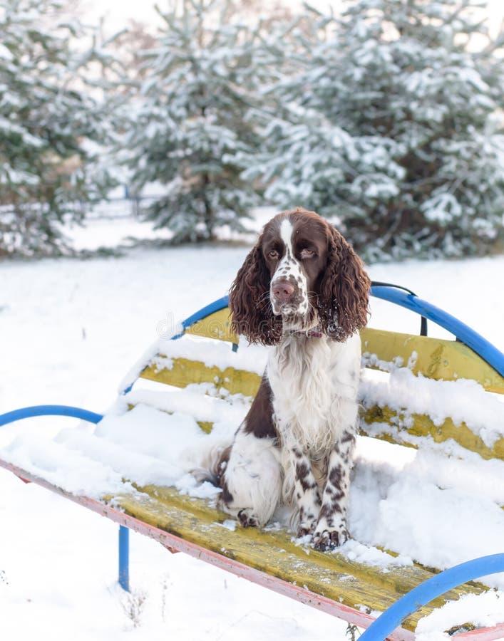 Um spaniel de Springer inglês triste da raça do cão senta-se apenas no banco no parque do inverno foto de stock
