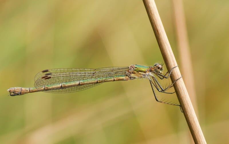 Um sponsa fêmea impressionante de Emerald Damselfly Lestes empoleirou-se na haste de um junco fotos de stock
