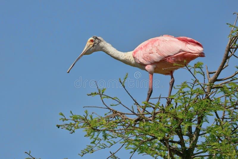 Um Spoonbill róseo empoleirado foto de stock