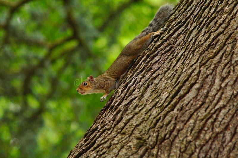 Um Squirrle curioso ainda na árvore de A fotos de stock