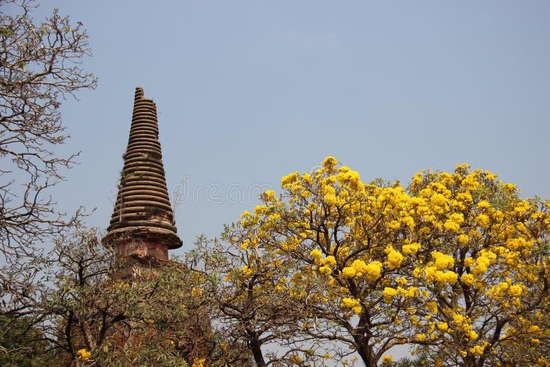 Um Stupa antigo com flor amarela Árvore do ouro imagem de stock royalty free