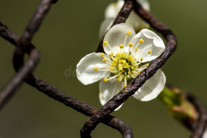 Um subg bonito, branco do Prunus da flor da cereja Luz do sol de Cerasus na primavera atrás de um velho, oxidado, cerca do metal  imagem de stock royalty free
