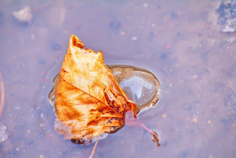 Um subshrub só contra a folha do outono que flutua na poça da água fotos de stock royalty free