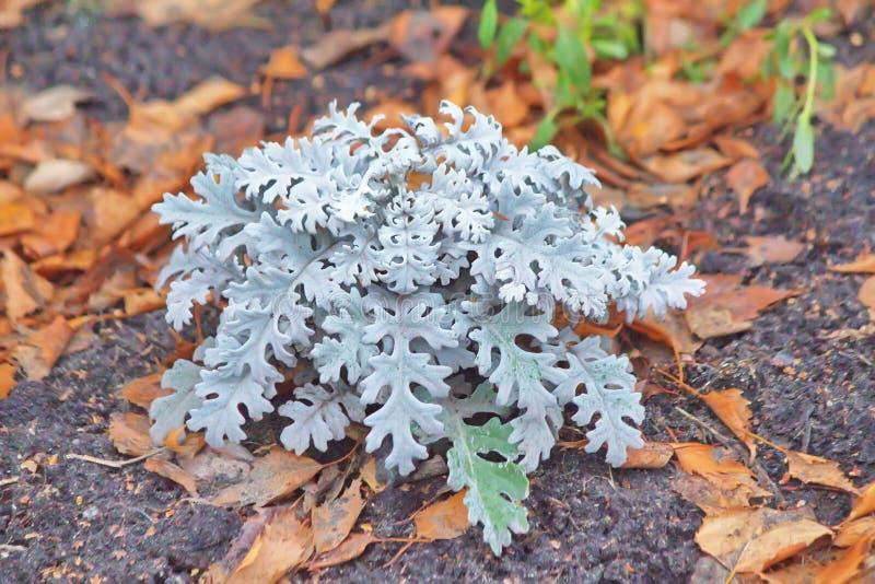 Um subshrub só na perspectiva das folhas de outono foto de stock
