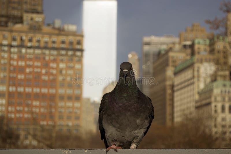 Um suporte preto do pombo com fundo da construção de New York imagens de stock royalty free