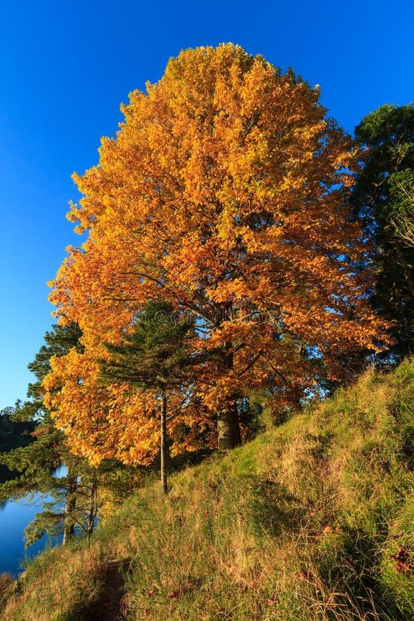 Um sweetgum, ou árvore do liquidambar na folha do outono fotografia de stock