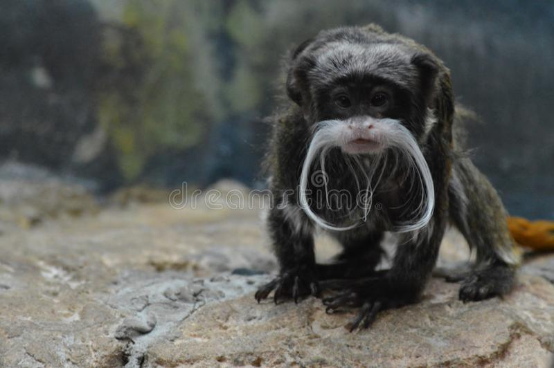 Um Tamarin do imperador foto de stock royalty free