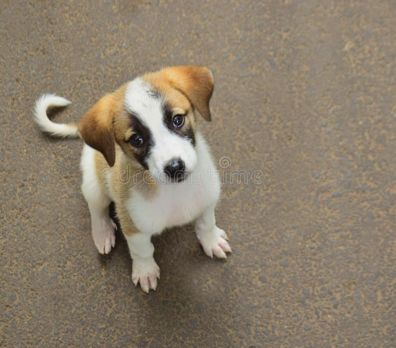 Um terrier bonito de Russel do puppyJack fotografia de stock