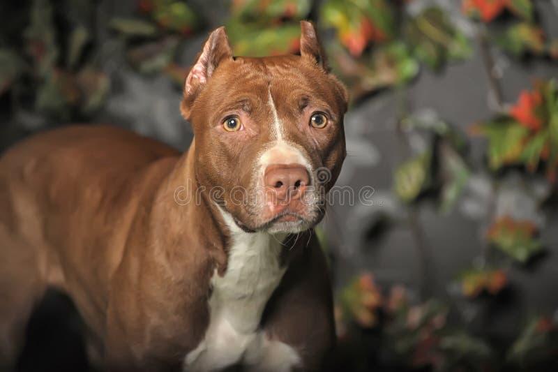 Pitbull de Brown fotos de stock