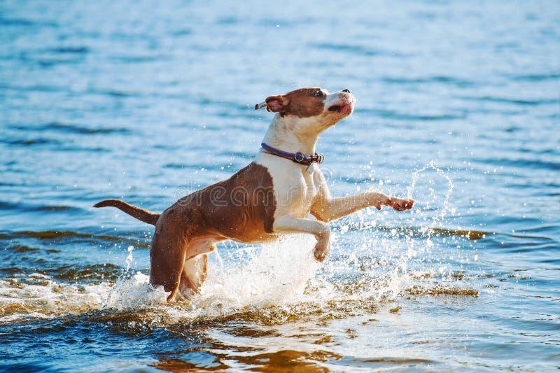 Um terrier de Staffordshire americano masculino branco-marrom bonito da raça do cão corre e salta na perspectiva da água fotos de stock royalty free