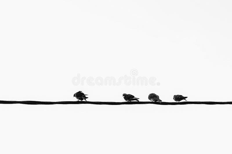 Um teste padrão monocromático dos pombos no fio bonde foto de stock royalty free