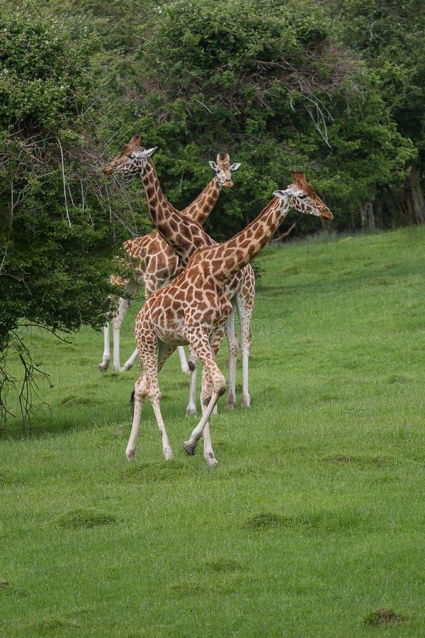 Um threesome do girafa de Rothschild imagens de stock