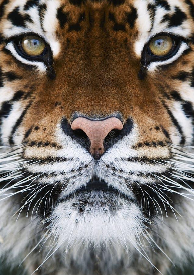 Um tigre fotos de stock royalty free