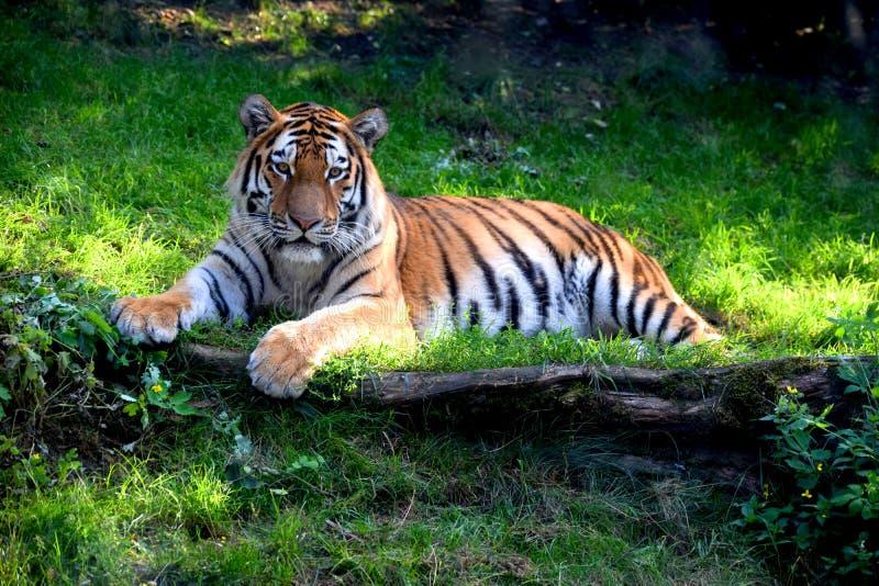Um tigre bonito de Ussurian encontra-se na grama imagens de stock royalty free