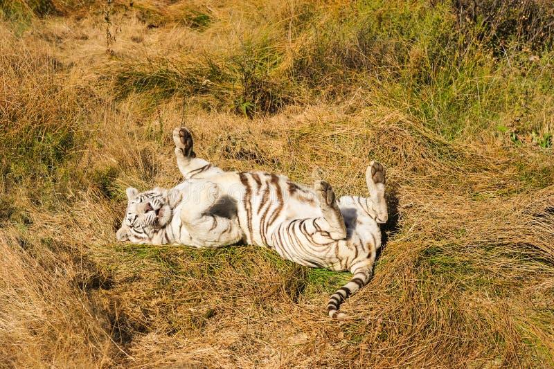 Um tigre branco raro no selvagem foto de stock royalty free