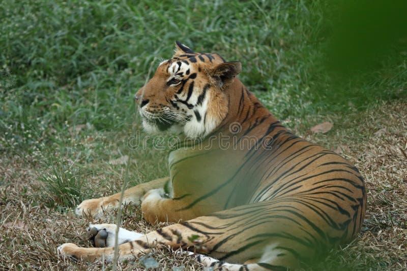Um tigre calmo que relaxa nos arbustos fotografia de stock royalty free