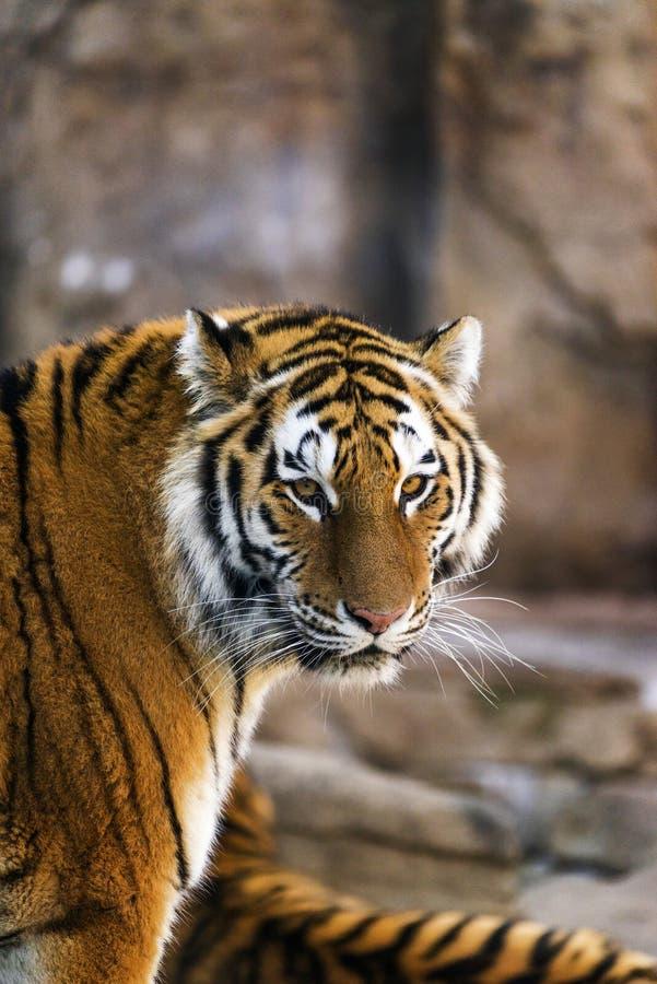 Um tigre de amur que olha na câmera imagens de stock royalty free
