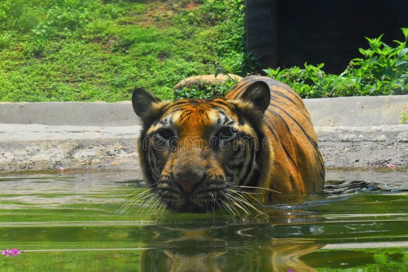 Um tigre de Bengal em jardins zoológicos, Dehiwala Colombo, Sri Lanka foto de stock royalty free