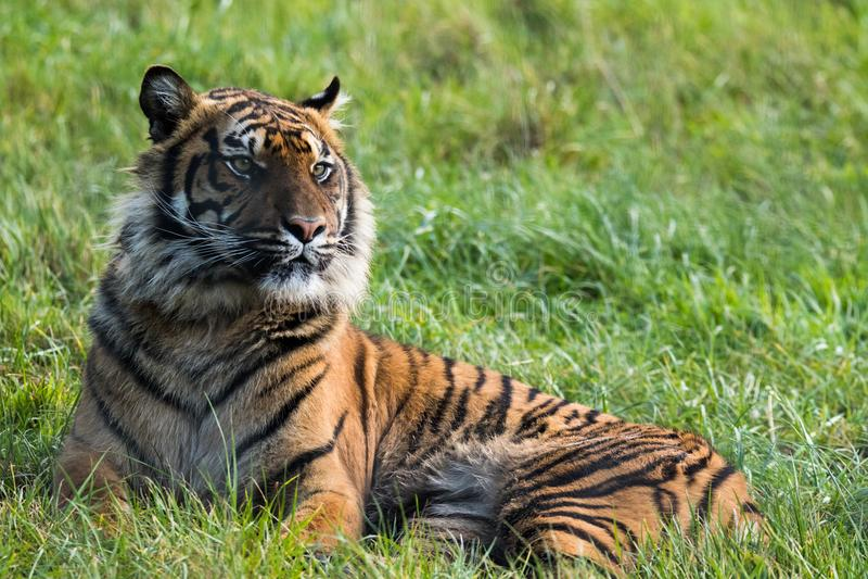 Um tigre de Sumatran que senta-se apenas foto de stock