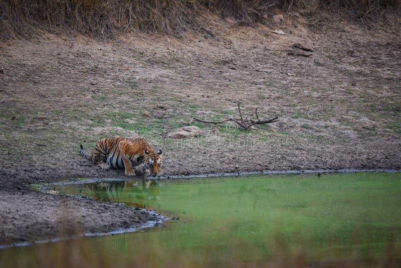 Um tigre fêmea bonito que extingue sua sede no verão quente no furo de água, parque nacional do kanha imagens de stock