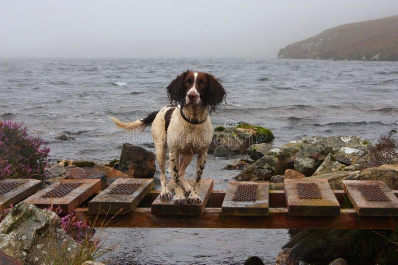 Um tipo de trabalho spaniel de springer inglês por um lago fotografia de stock