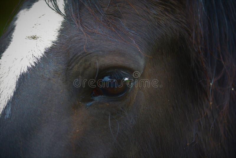 Um tiro da cara de um cavalo preto com chama branca fotos de stock