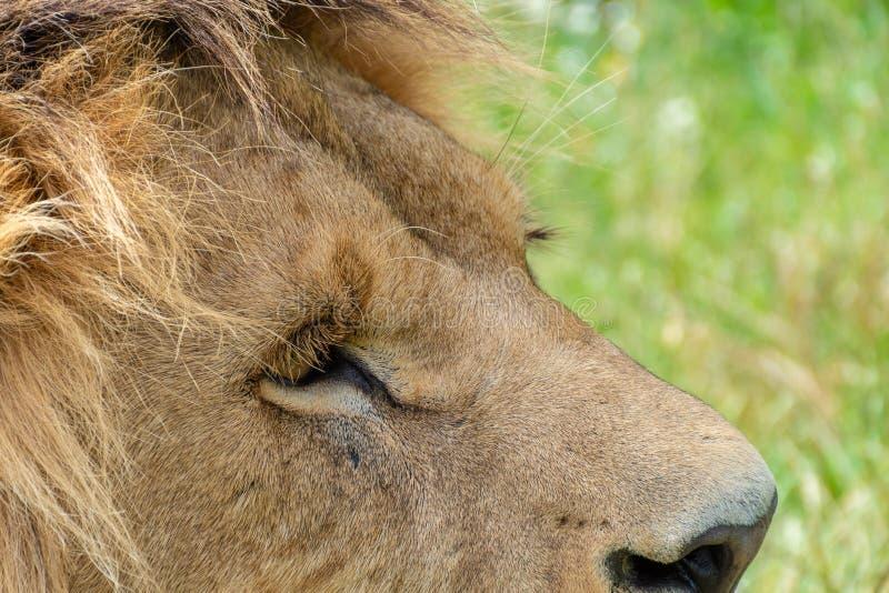 Um tiro de uma cabeça masculina dos leões imagem de stock
