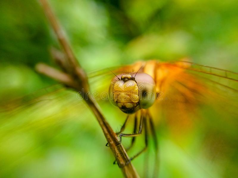 Um tiro do close-up da cabeça da libélula fotografia de stock