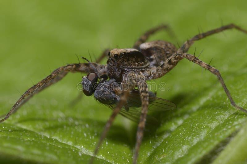 Um tiro macro de uma aranha de lobo, Lycosidae, comendo uma mosca imagens de stock