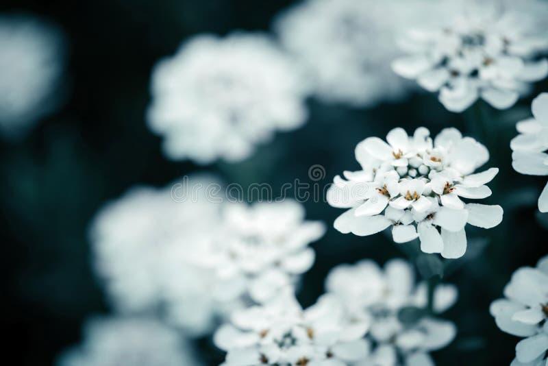 Um tiro macro de uma flor do iberis imagens de stock