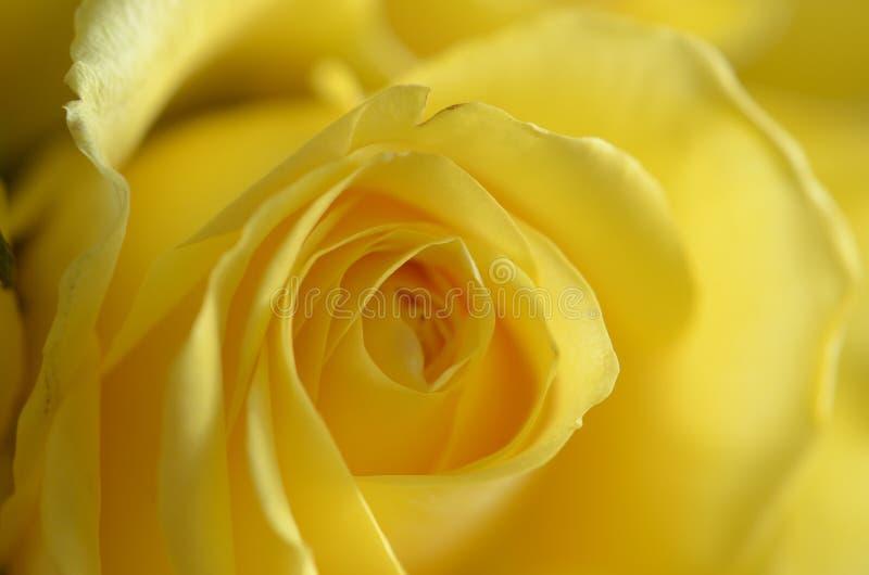Download Rosa amarela foto de stock. Imagem de flor, crinkle, brilhante - 29834962