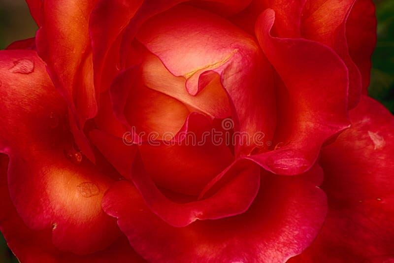 Um tiro macro de uma rosa vermelha fotos de stock