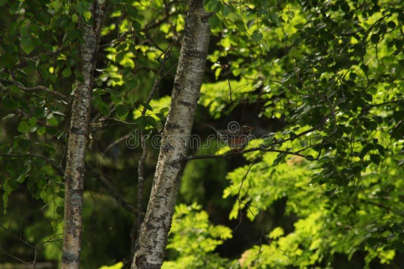Um tordo pisco em um ramo do vidoeiro Fundo verde com folhas foto de stock