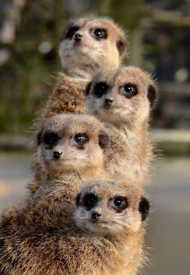 Um totem de Meerkats fotografia de stock royalty free
