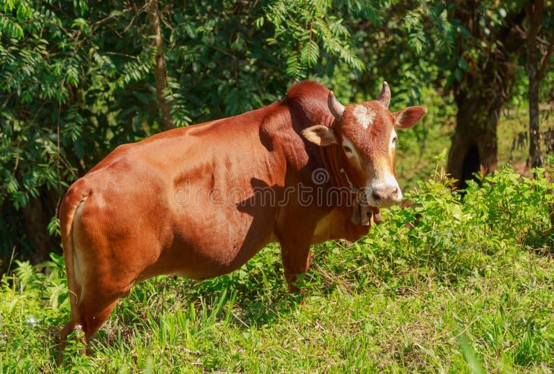 Um touro imagens de stock