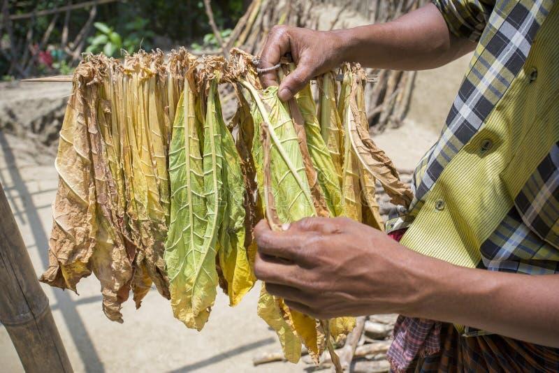 Um trabalhador do cigarro tinha semeado a folha do cigarro em Dhaka, manikganj, Bangladesh fotografia de stock royalty free