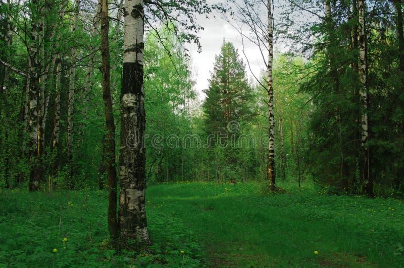 Um trajeto de abeto da floresta do vidoeiro imagens de stock royalty free