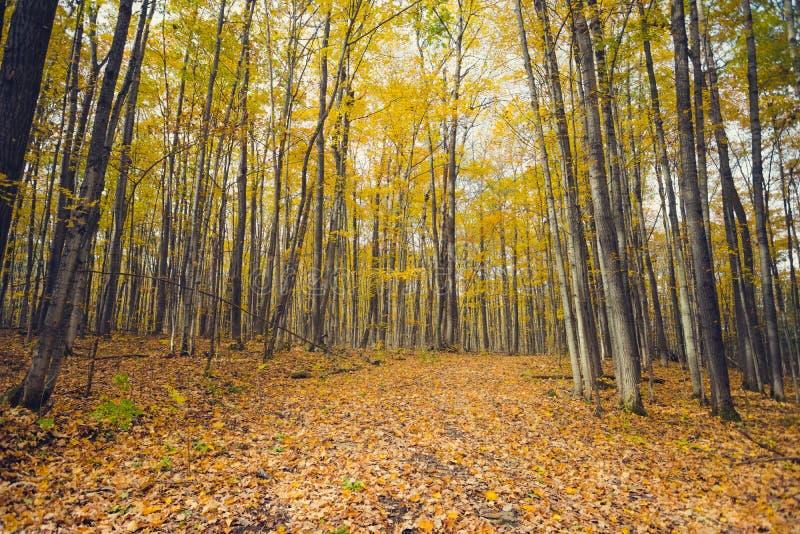 Um trajeto de floresta através da folha dourada do outono fotografia de stock royalty free