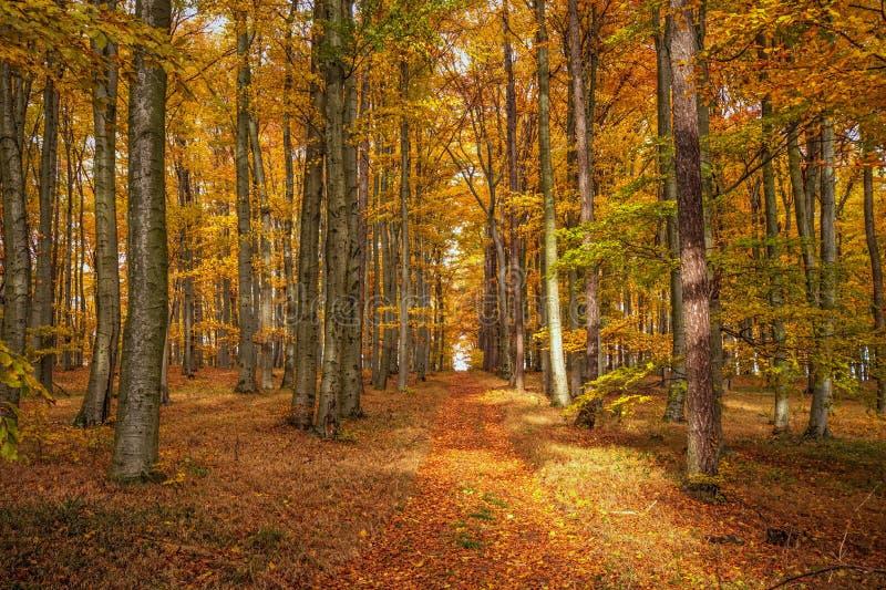 Um trajeto de floresta com cores douradas do outono foto de stock