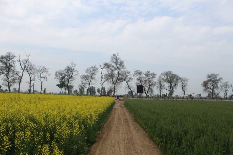Um trajeto em uma exploração agrícola com mostarda em uns lado e trigo em outro fotografia de stock
