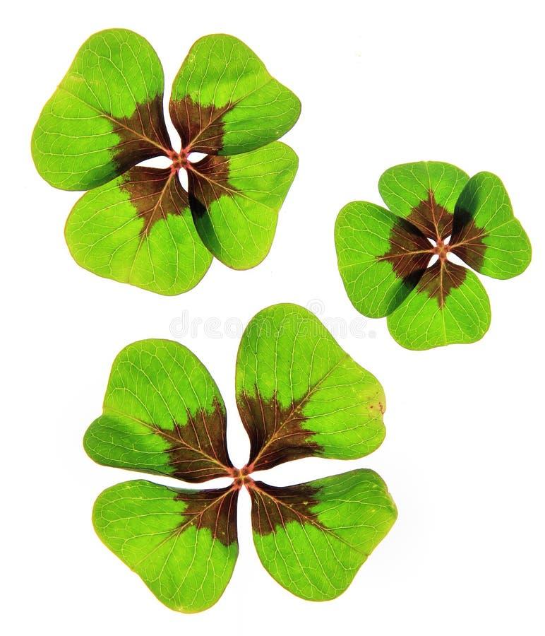 Um trevo afortunado de quatro folhas foto de stock