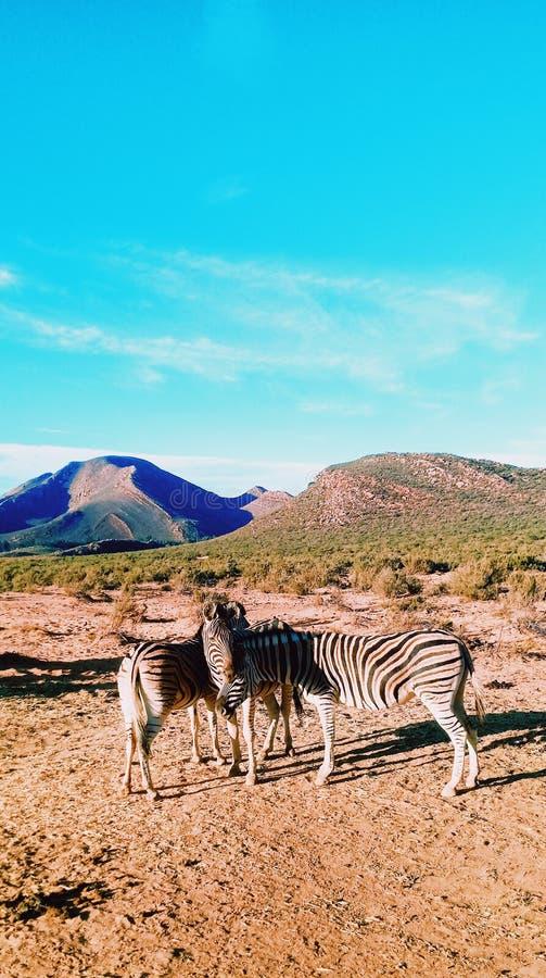 Um trio das zebras foto de stock royalty free