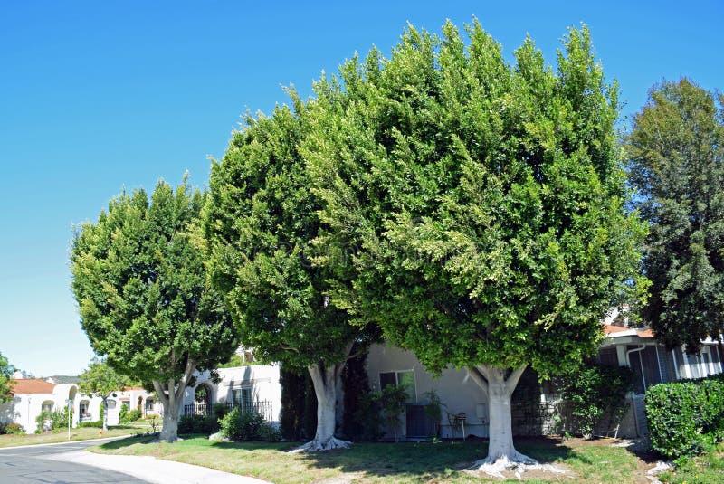 Um trio de árvores maduras do ficus em madeiras de Laguna, Califórnia foto de stock