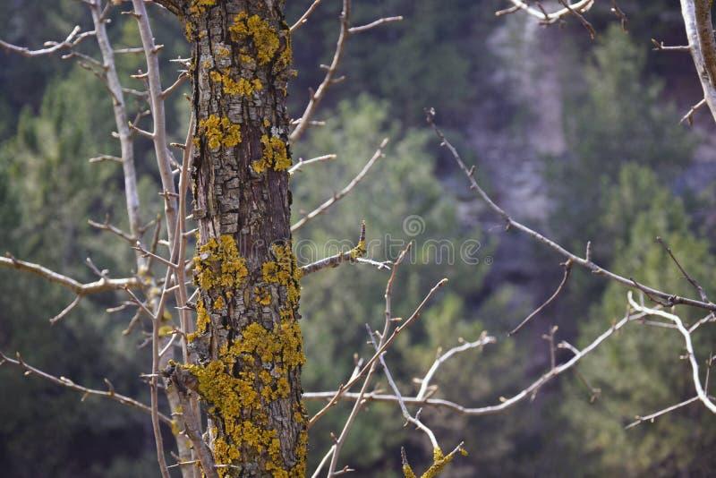 Um tronco musgo-coberto de uma pera selvagem fotografia de stock
