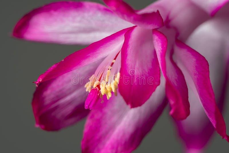 Um truncata cor-de-rosa do Schlumbergera que floresce antes do Natal foto de stock royalty free